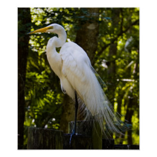 Great Egret Print