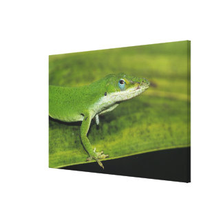 Green Anole, Anolis carolinensis, adult on palm Stretched Canvas Prints