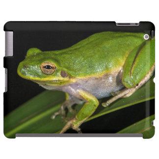 Green Tree Frog (Hyla cinerea) 2