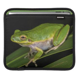 Green Tree Frog (Hyla cinerea) 2 iPad Sleeves