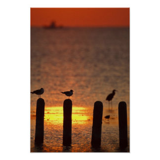 Gulls on pilings in Laguna Madre, South Padre Poster