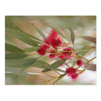 Gum Blossoms Postcard