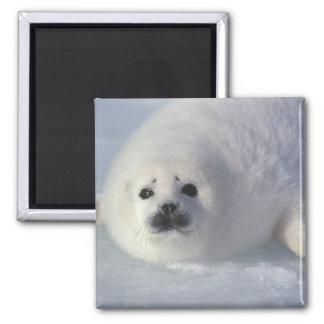 Harp seal Phoca groenlandica) A week-old harp Square Magnet