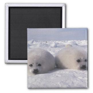 Harp seal (Phoca groenlandica) Harp seal pups Square Magnet