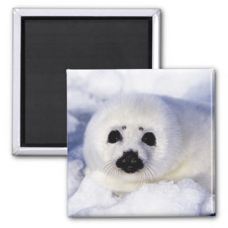 Harp seal pup ice Gulf of St. Lawrence, Square Magnet