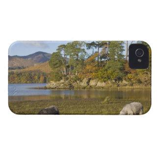 Herdwick sheep at Friars Crag, Derwentwater, 2 iPhone 4 Case-Mate Case