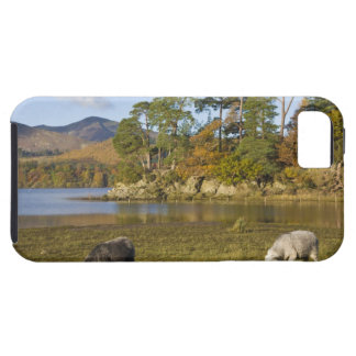 Herdwick sheep at Friars Crag, Derwentwater, 2 iPhone 5 Cover