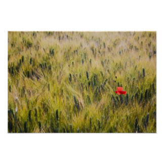 Italy, Tuscany, Lone poppy in Spring Wheat Poster