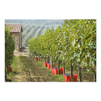 Italy, Tuscany, Montalcino. Bins of harvested Photo