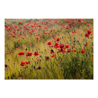 Italy, Tuscany, Poppies in Spring Wheat Field. Poster