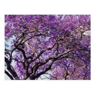 Jacaranda tree in spring bloom flowers postcard