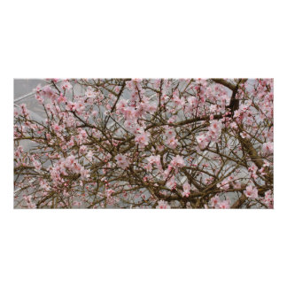 japanese cherry tree in bloom picture card