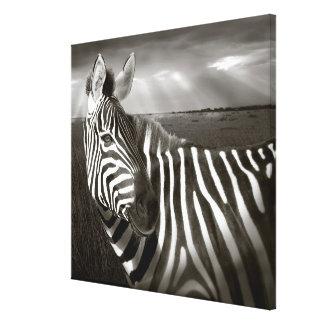 Kenya. Black & white of zebra and plain. Gallery Wrap Canvas
