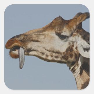 Kenya, Nakuru National Park. Rothschild's Square Sticker