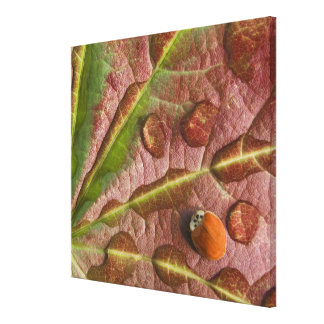Ladybug on dewy maple leaf. Credit as: Don Gallery Wrap Canvas