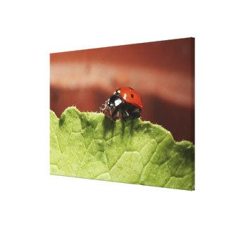 Ladybug on lettuce leaf (MR) Canvas Print