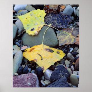 Leaf of Fremont cottonwood on flood plain 2 Poster