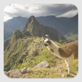 LLamas and an over look of Machu Picchu, Square Sticker