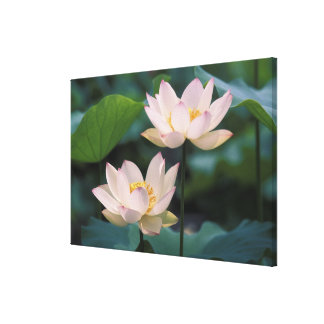 Lotus flower in blossom, China Gallery Wrap Canvas