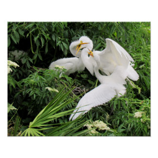 Lunchtime for Egrets (Young Egrets and Mom) Poster