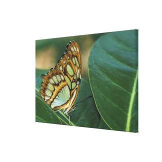 Malachite Butterfly, Siproeta stelenes, Gallery Wrap Canvas