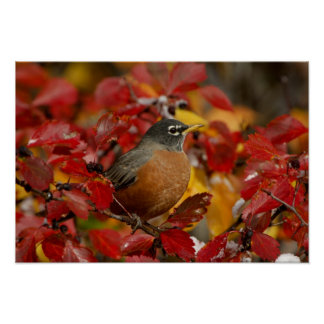Male American Robin in Black Hawthorn 2 Poster