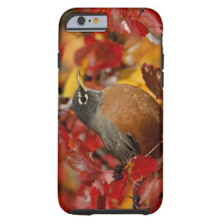Male American Robin in Black Hawthorn 2 Tough iPhone 6 Case