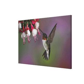 Male Ruby throated Hummingbird, Archilochus Canvas Prints