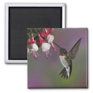Male Ruby throated Hummingbird, Archilochus Square Magnet