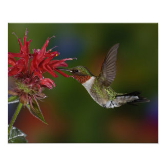 Male Ruby-throated Hummingbird feeding on Poster
