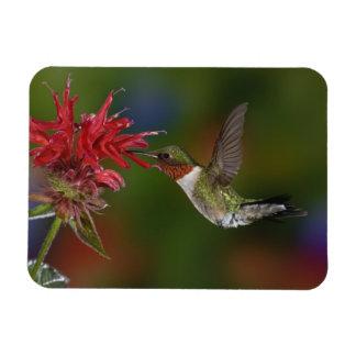 Male Ruby-throated Hummingbird feeding on Rectangular Photo Magnet