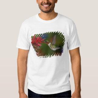 Male Ruby-throated Hummingbird feeding on T-shirt