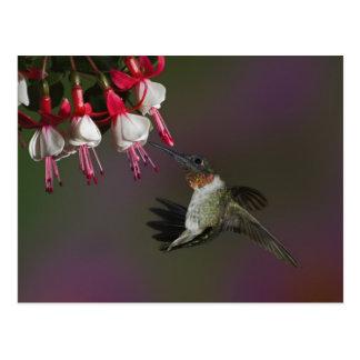 Male Ruby-throated Hummingbird in flight. Postcard