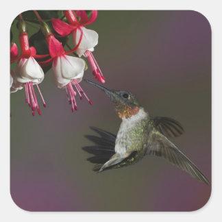 Male Ruby-throated Hummingbird in flight. Square Sticker