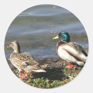 Mallard duck couple stickers
