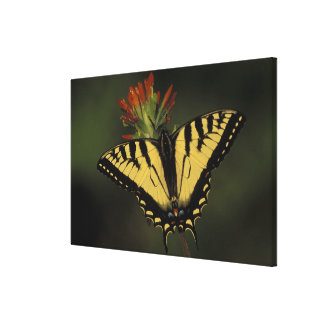 Michigan, Houghton Lake. Tiger Swallowtail on Stretched Canvas Print