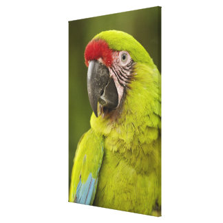 Military macaw (Ara militaris) CAPTIVE. Amazon Stretched Canvas Print