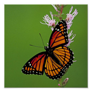 Monarch Butterfly and Flower On Green Background Poster