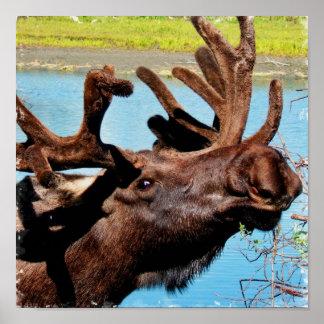 Moose Poster Print