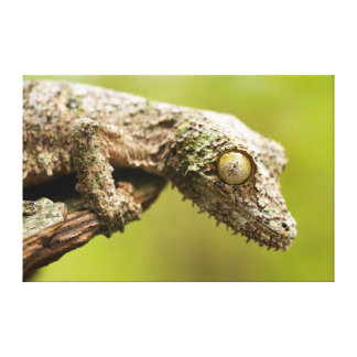 Mossy leaf-tailed gecko on a piece of bark canvas prints