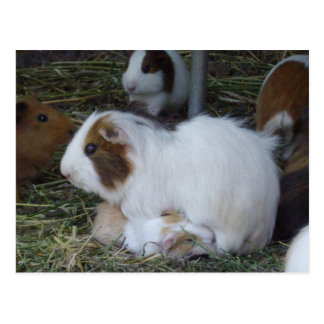Mummy_And_Baby_Guinea_Pig Postcard