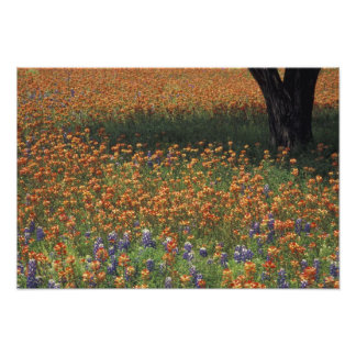 NA, USA, Texas, Hill Country, Paint brush and Photographic Print