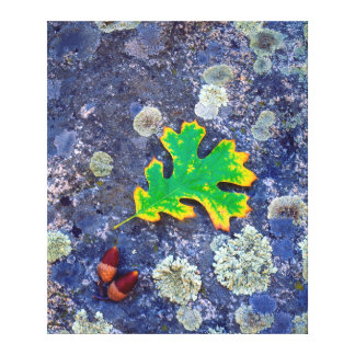 Oak Leaf and Acorns on a Lichen covered rock Canvas Prints