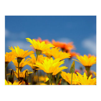 Orange And Yellow Namaqualand Daisies Postcard