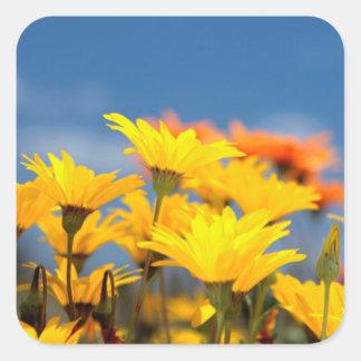 Orange And Yellow Namaqualand Daisies Square Sticker