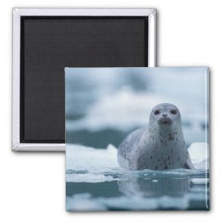 pacific harbor seal, Phoca vitulina richardsi Square Magnet