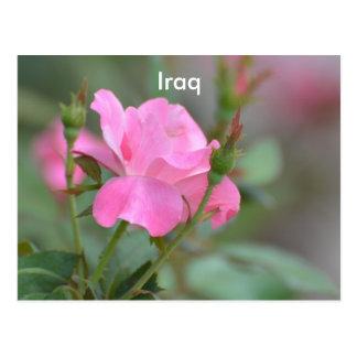 Pastel Pink Rose in Iraq Postcard