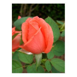 Peach Rose Bud in the Rain CricketDiane Postcard
