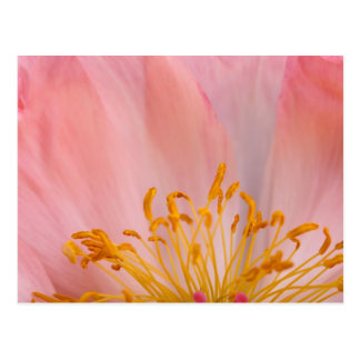 Peony Flower Postcard