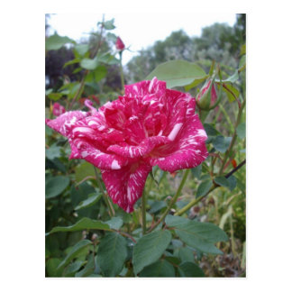 Pink_And_White_Striped_Rose,_ Postcard